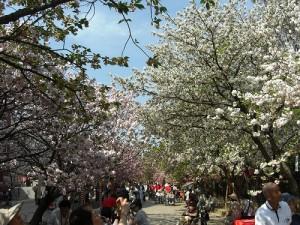 ≪造幣局の桜の通り抜け≫