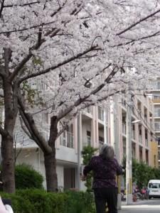 「江之子島公園の桜」